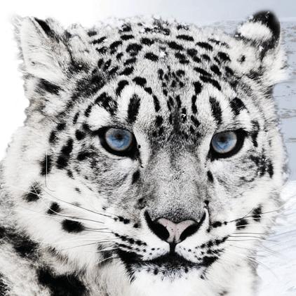 leopardo de las nieves Dynafit 2015